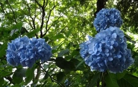 重田紫陽花